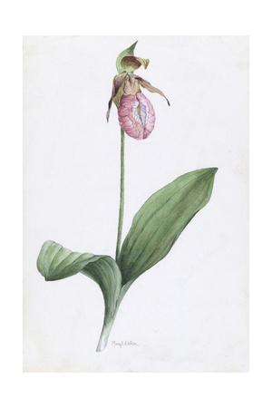 A Painting of the Wild Orchid, Moccasin Flower