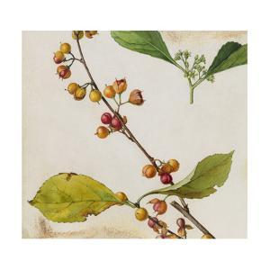 A Sprig of American Bittersweet Vine Blossoms and Berries by Mary E. Eaton