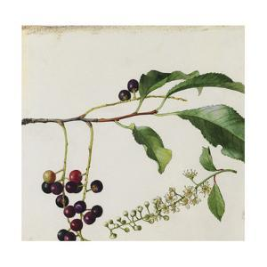 A Sprig of Black Cherry Tree Blossoms and Berries by Mary E. Eaton