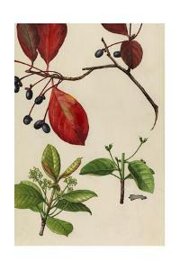A Sprig of Blackgum Tree Blossoms and Berries by Mary E. Eaton