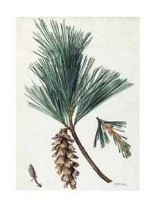 A Sprig of Eastern White Pine and its Cone by Mary E. Eaton