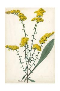 A Sprig of Gray Goldenrod by Mary E. Eaton