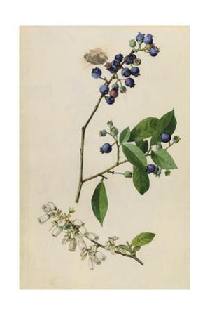 A Sprig of Highbush Blueberry Blossoms and Berries by Mary E. Eaton