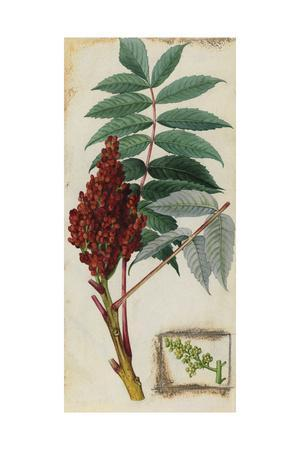 A Sprig of Smooth Sumac Tree Blossoms and Berries