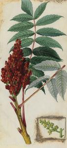 A Sprig of Smooth Sumac Tree Blossoms and Berries by Mary E. Eaton