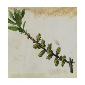 A Sprig of Southern Bayberry Shrub Blossoms by Mary E. Eaton