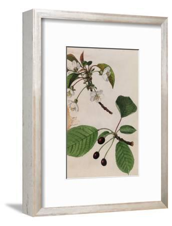 A Sprig of Sweet Cherry Tree Blossoms and Berries