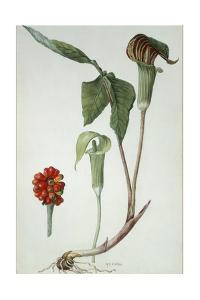 Painting of Jack-In-The-Pulpit Plant, Flower, and Berries by Mary E. Eaton