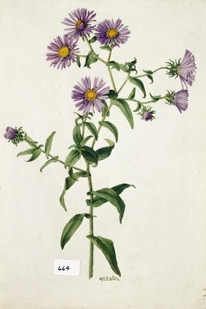 This Plant Is a Member of the Aster Family