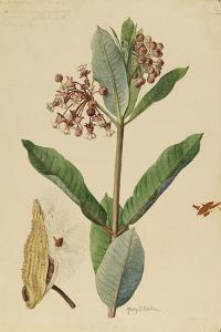 This Plant Is a Member of the Milkweed Family by Mary E. Eaton
