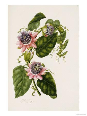 Passion Flowers, circa 1796-1799