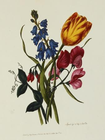 Sweet Pea and Tulip, Sketches of Flowers from Nature