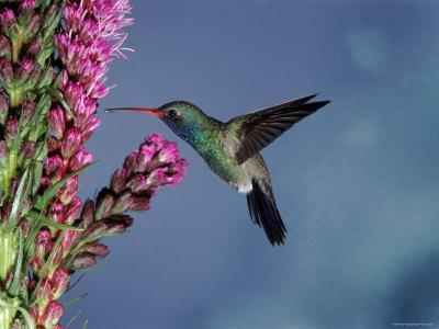 Broad Billed Hummingbird (Cynanthus Latirostris) Az, USA Madera Canyon, Arizona
