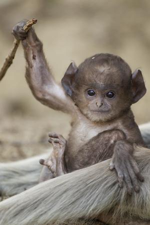 Hanuman Langur - Northern Plains Grey Langur (Semnopithecus Entellus) Baby Playing with a Stick