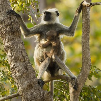 Hanuman Langur - Northern Plains Grey Langur (Semnopithecus Entellus) Mother with Baby in Tree