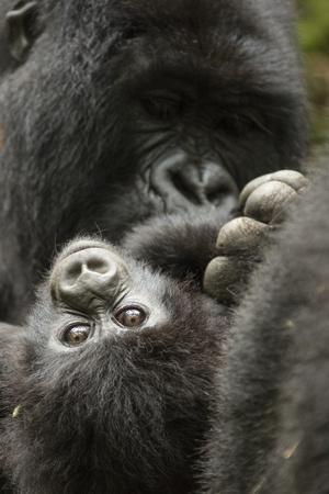 Mountain gorilla female with baby age, 4 months, Volcanoes National Park, Rwanda