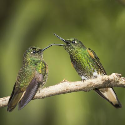 Two Buff-tailed coronet hummingbirds interacting,  Andean montane forest, Ecuador