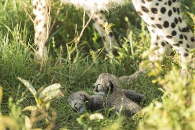 Two Cheetah cubs, Ngorongoro Conservation Area, Serengeti, Tanzania