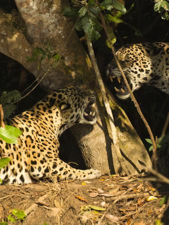 Two Jaguars (Panthera onca) snarling at each other on the riverbank, Pantanal, Brazil. September