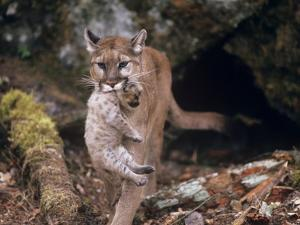 Mountain Lion, Female and Cub, USA by Mary Plage