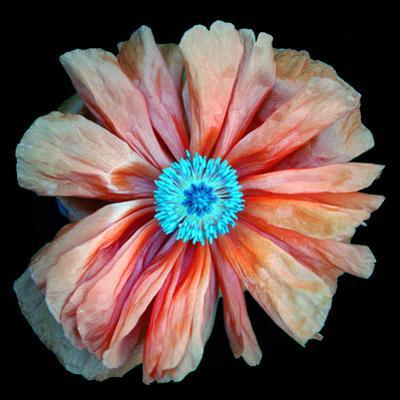 Poppy by Mary Woodman