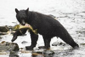 Black Bear Fishing by MaryAnn McDonald