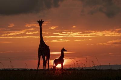 https://imgc.artprintimages.com/img/print/masai-giraffe-female-and-calf-at-sunset-with-abdim-s-storks-masai-mara-kenya_u-l-q1gem1g0.jpg?p=0