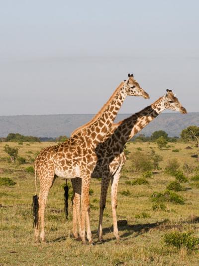Masai Giraffe (Giraffa Camelopardalis), Masai Mara National Reserve, Kenya, East Africa, Africa-Sergio Pitamitz-Photographic Print