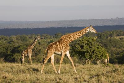 Masai Giraffe (Giraffa Camelopardalis Tippelskirchi)-Angelo Cavalli-Photographic Print