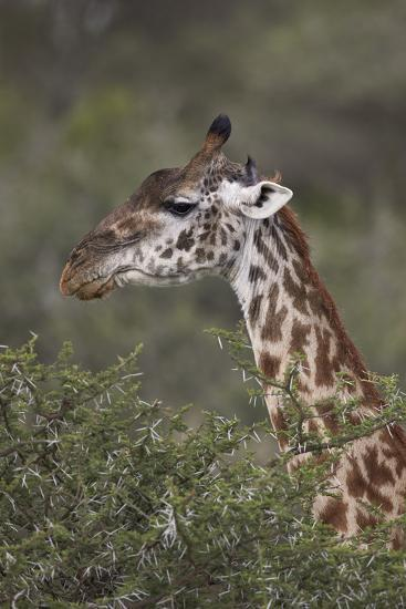 Masai Giraffe (Giraffa Camelopardalis Tippelskirchi)-James Hager-Photographic Print