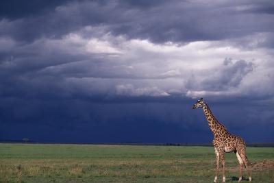 Masai Giraffe in Savanna-DLILLC-Photographic Print