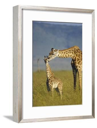 Masai Giraffe mother and young, Kenya-Tim Fitzharris-Framed Art Print