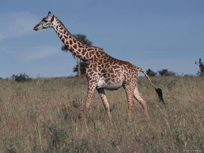 Masai Giraffe Strolling the Grasslands of Kenya-Ira Block-Photographic Print