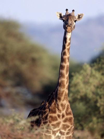 Masai Giraffe, Tarangire National Park, Tanzania-D^ Robert Franz-Photographic Print