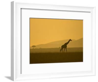 Masai Giraffe Walking at Sunset in Masai Mara. Giraffa Camelopardalis-Roy Toft-Framed Photographic Print