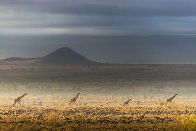 Masai giraffes, Amboseli National Park, Kenya-Art Wolfe-Photographic Print