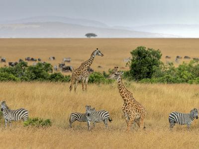 Masai Giraffes (Giraffa Camelopardalis Tippelskirchi) and Burchells Zebra (Equus Burchelli), Kenya-Gustav Verderber-Photographic Print