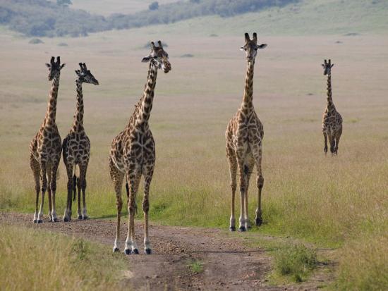 Masai Giraffes (Giraffa Camelopardalis Tippelskirchi) Masai Mara Game Reserve, Kenya-Adam Jones-Photographic Print