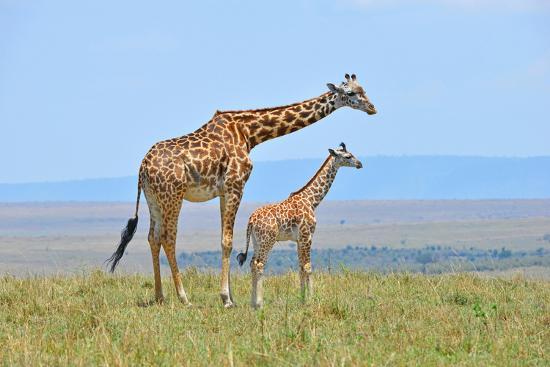 Masai Mara Giraffe-Jim Varley Photography-Photographic Print