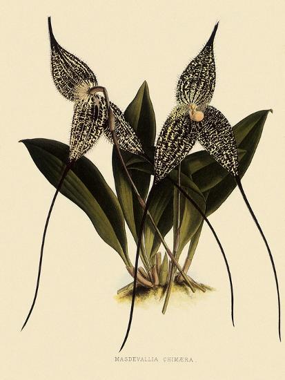 Masdevallia Chimaera-John Nugent Fitch-Giclee Print