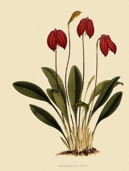 Masdevallia Ignea-John Nugent Fitch-Giclee Print