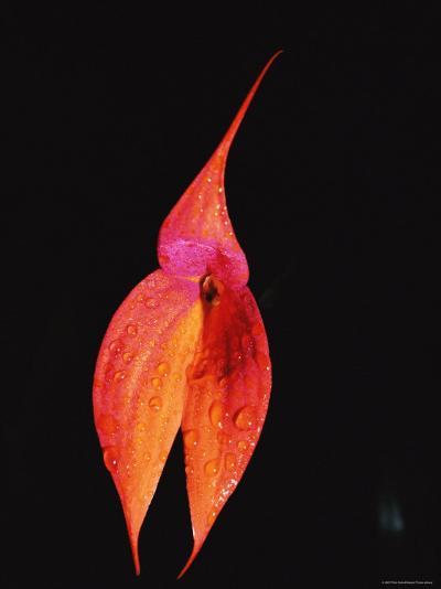 Masdevallia Orchid Flower, Machu Picchu, Peru, Sth America-Pete Oxford-Photographic Print