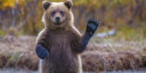The brown bear welcomes, waves a paw by Masha Rasputina