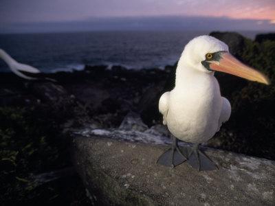 Masked Booby, Sula Dactylatra, Perched on a Rock at Twilight-Mattias Klum-Photographic Print
