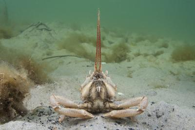 Masked Crab (Corystes Cassivelaunus) on Sandy Seabed, Studland Bay, Dorset, UK, May-Alex Mustard-Photographic Print