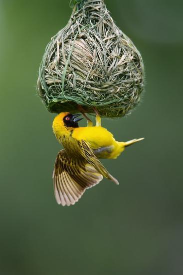 Masked Weaver; Ploceus Velatus; Hanging Upside down from Nest; South Africa-Johan Swanepoel-Photographic Print