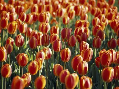 Mass Planting of Tulips in Bloom in the Spring-Paul Sutherland-Photographic Print
