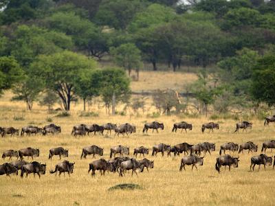 Massive Wildebeest herd during migration, Serengeti National Park, Tanzania-Adam Jones-Photographic Print