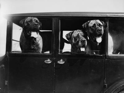 Mastiffs--Photographic Print