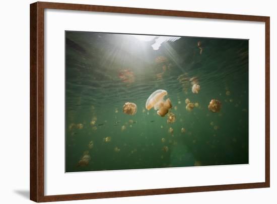 Mastigias Jellyfish (Mastigias Papua Etpisonii) Endemic to Jellyfish Lake, Micronesia, Palau-Reinhard Dirscherl-Framed Photographic Print